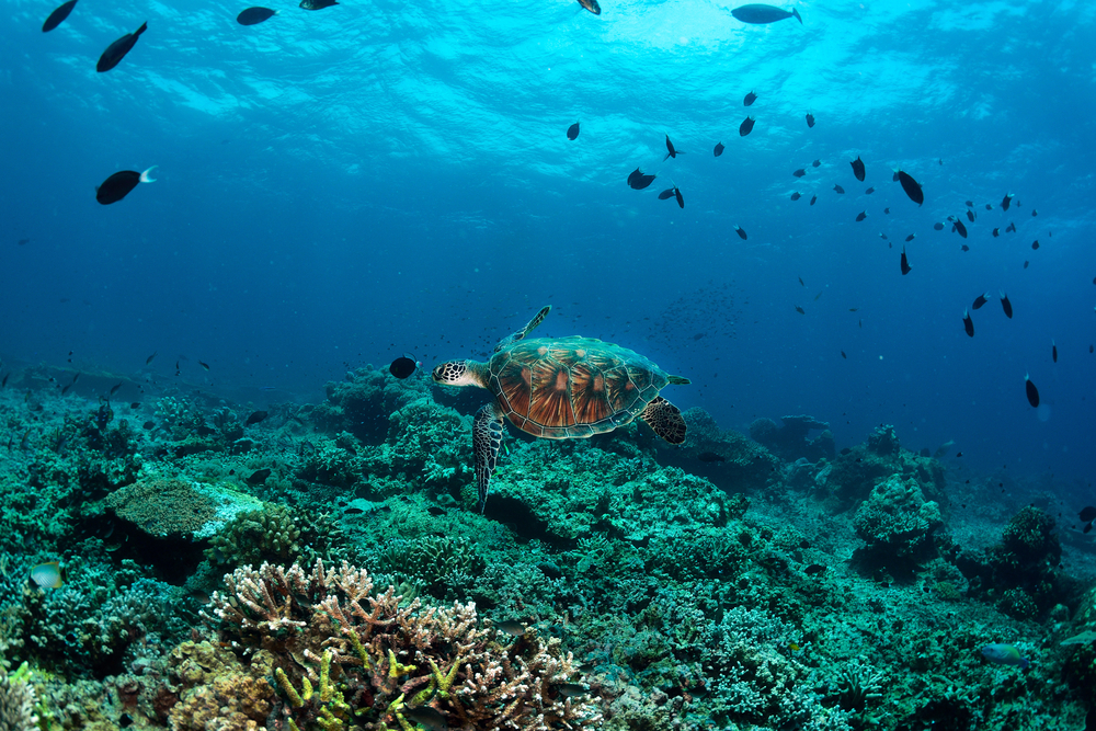 Underwater view of turtle swimming near a coral reef off the coast of Borneo
