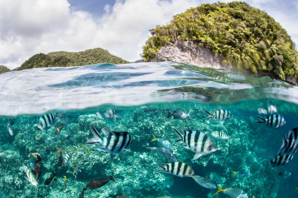 School of Damselfish in Palau