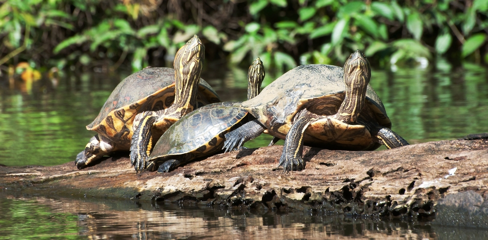Slider turtles in Tortuguero National Park, Costa Rica