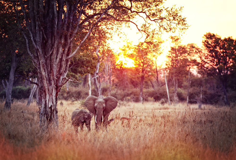 Elephant roaming in the Luangwa National Park, Zambia during sunset.