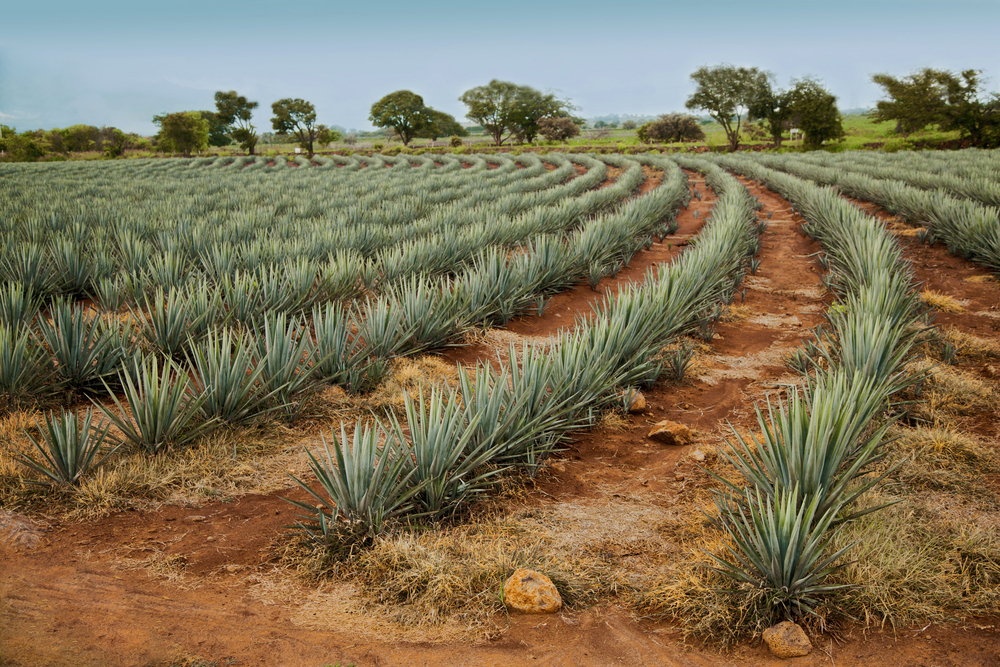 Tequila landscape in Jalisco, Mexico