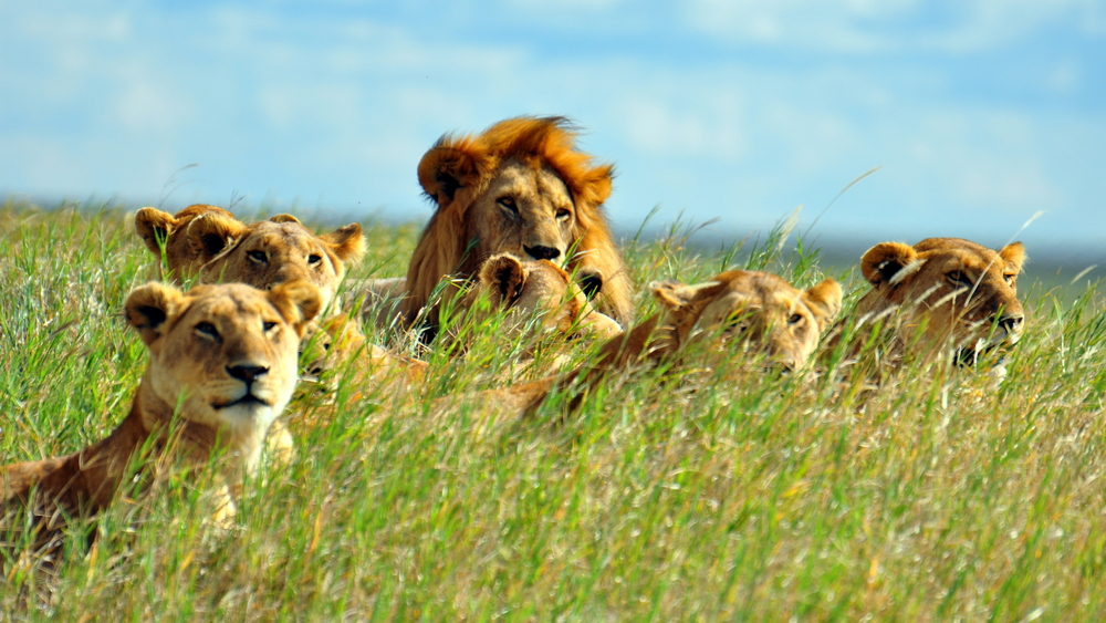 A pride of lions in the Serengeti National Park, Tanzania.