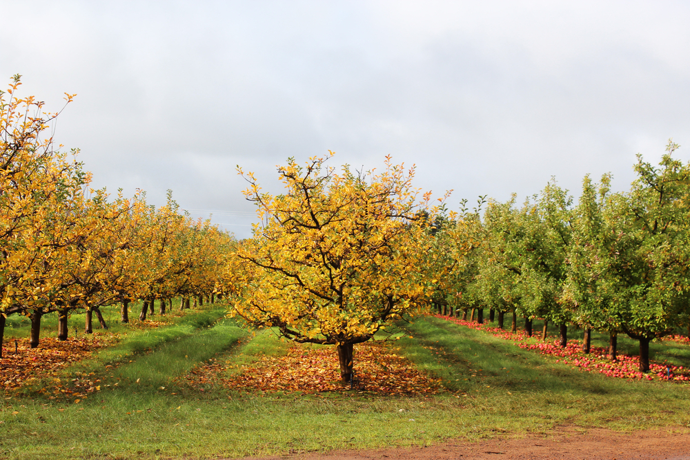 Orchard in fall.