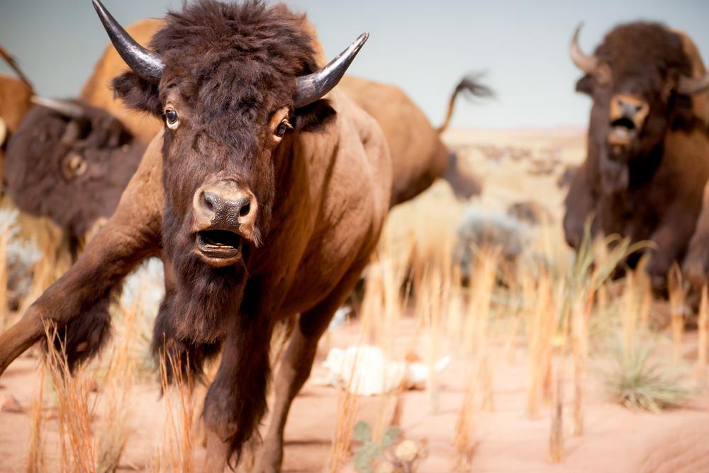 running buffaloes
