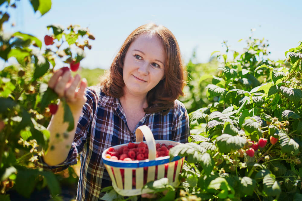 Woman picking raspberries in basket