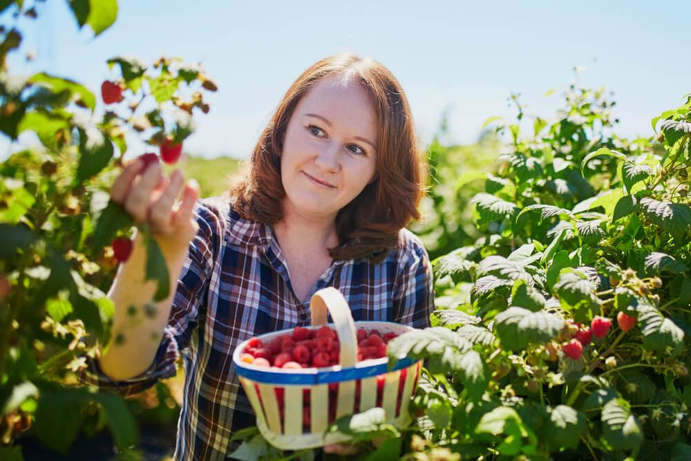 Woman picking raspberries in basket
