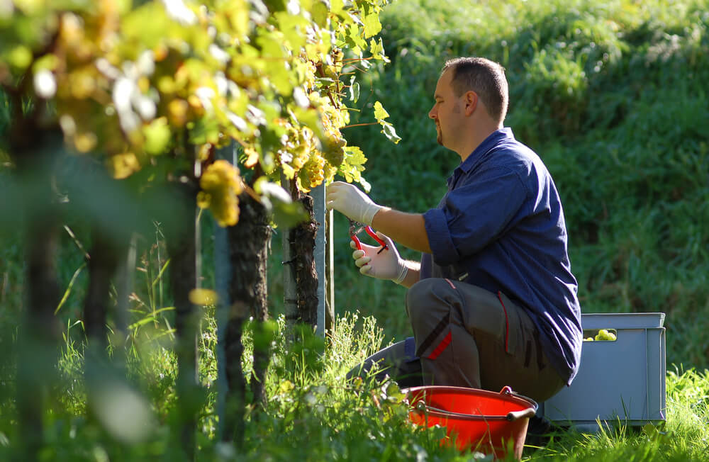 Man picking grapes to make wine