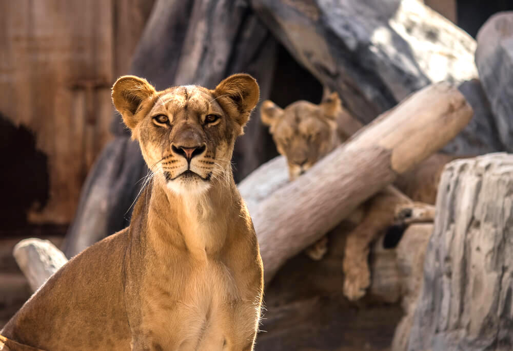 Lioness in Emirates Park Zoo. Abu Dhabi - UAE. 24 December 2016.