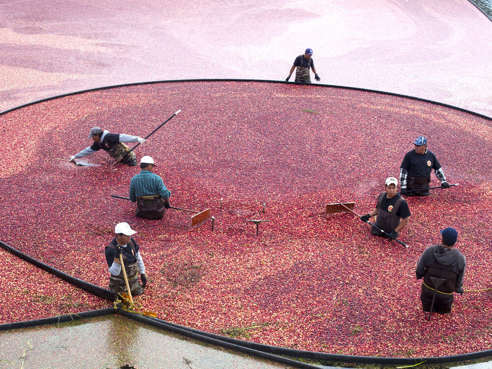 Farmers harvest cranberries during the 9th annual Cranberry Harvest Celebration