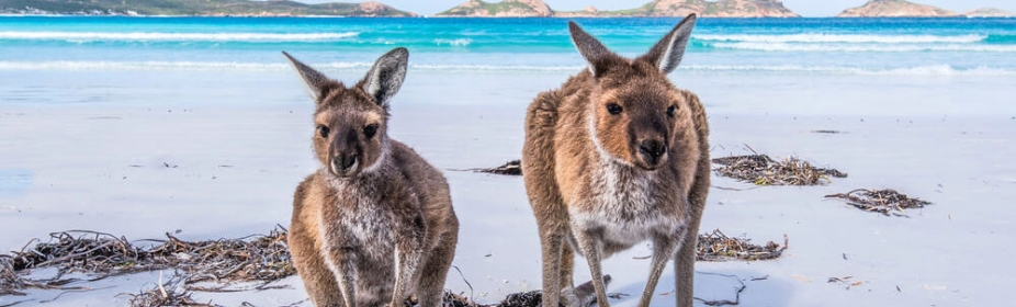Two friendly kangaroos on the beach