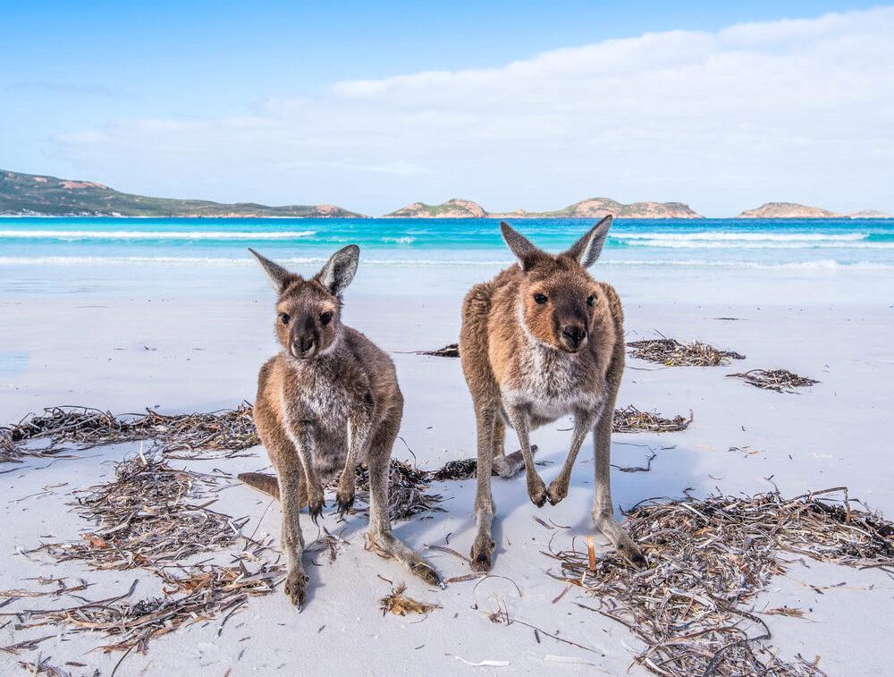 Two friendly kangaroos on the beach