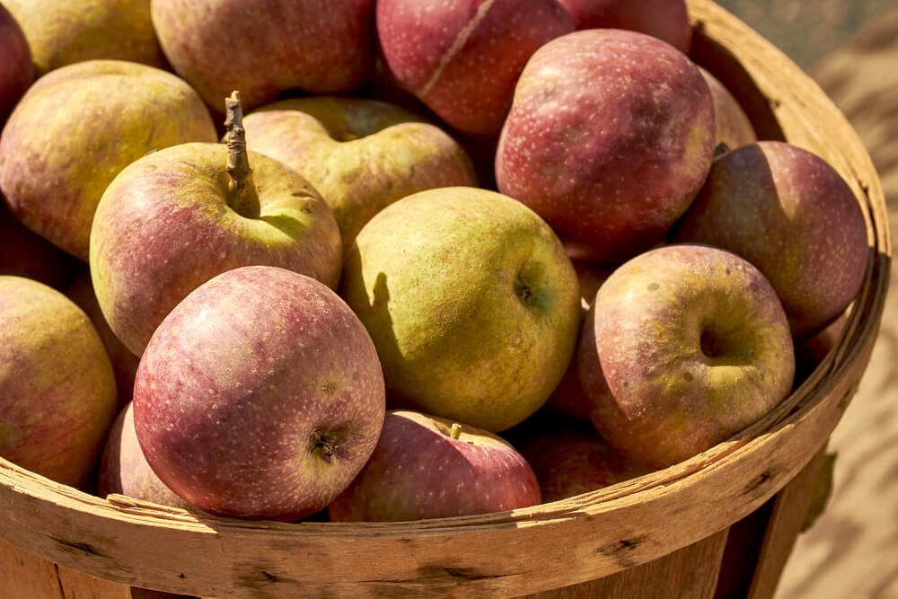 A bushel basket of stayman apples at a Lancaster County, Pennsylvania farmer's market