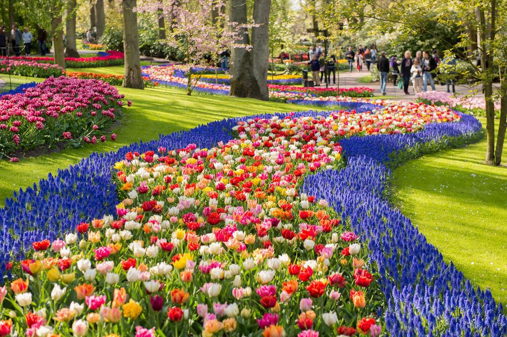 Blooming colourful tulips in Keukenhof Park