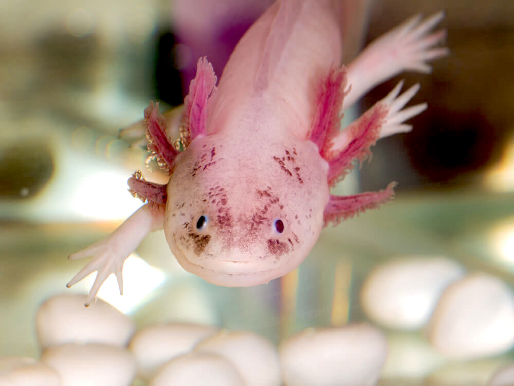 Axolotl, also known as Mexican walking fish