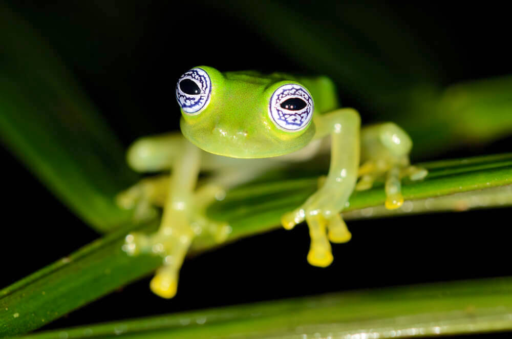 Ghost glass frog on a leaf