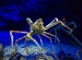 Long-legged Japanese spider crab in deep blue aquarium