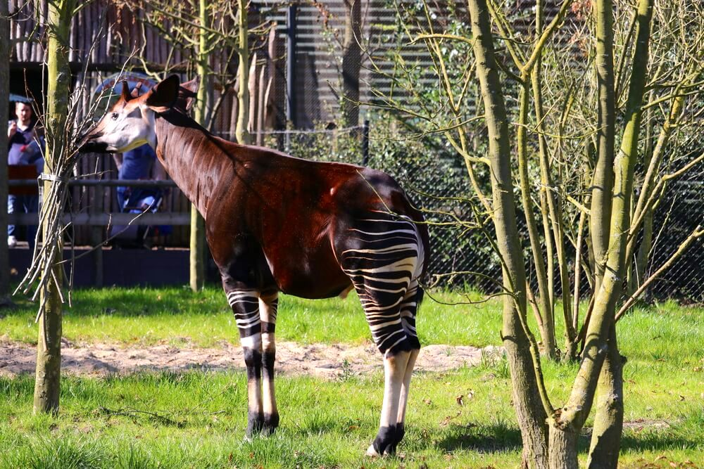 Okapi eating off a tree shoot In the field