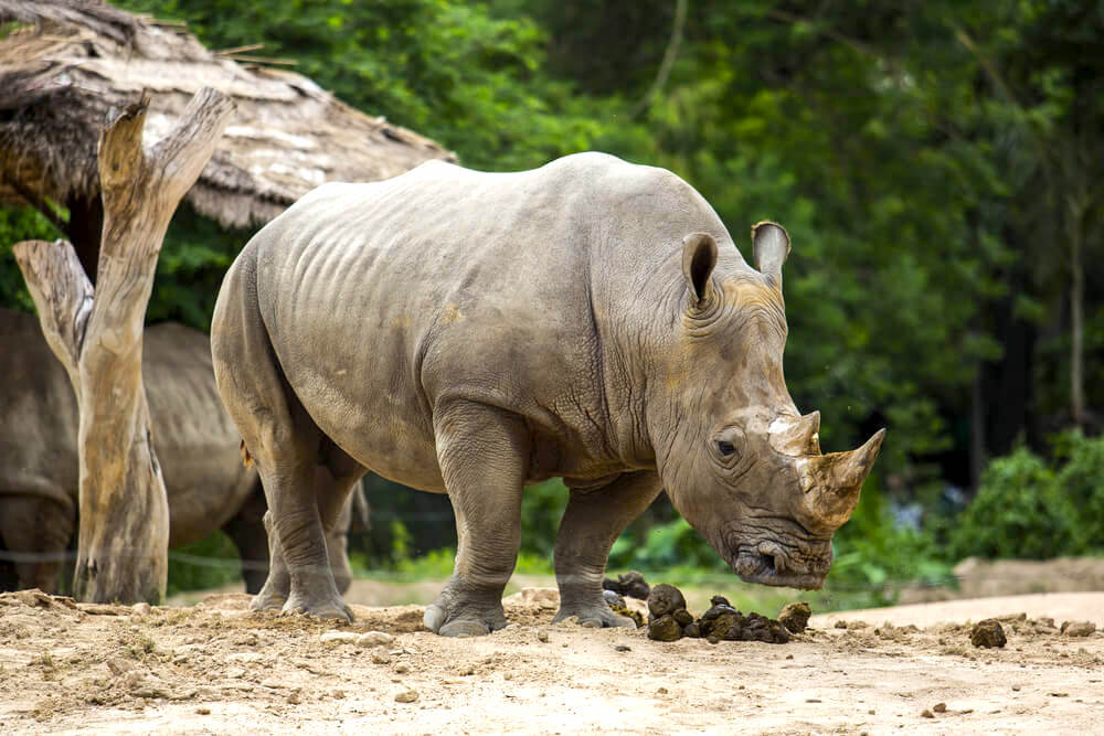 Sumatran rhino on a field