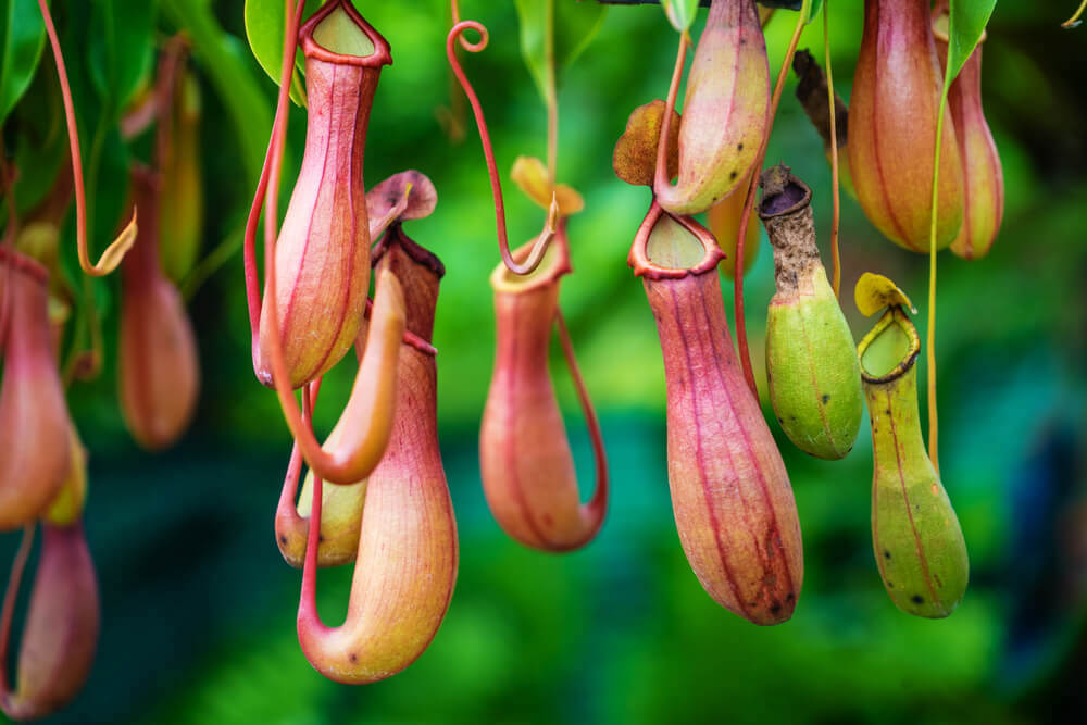 The famous carnivorous pitcher plant in Southeast Asia