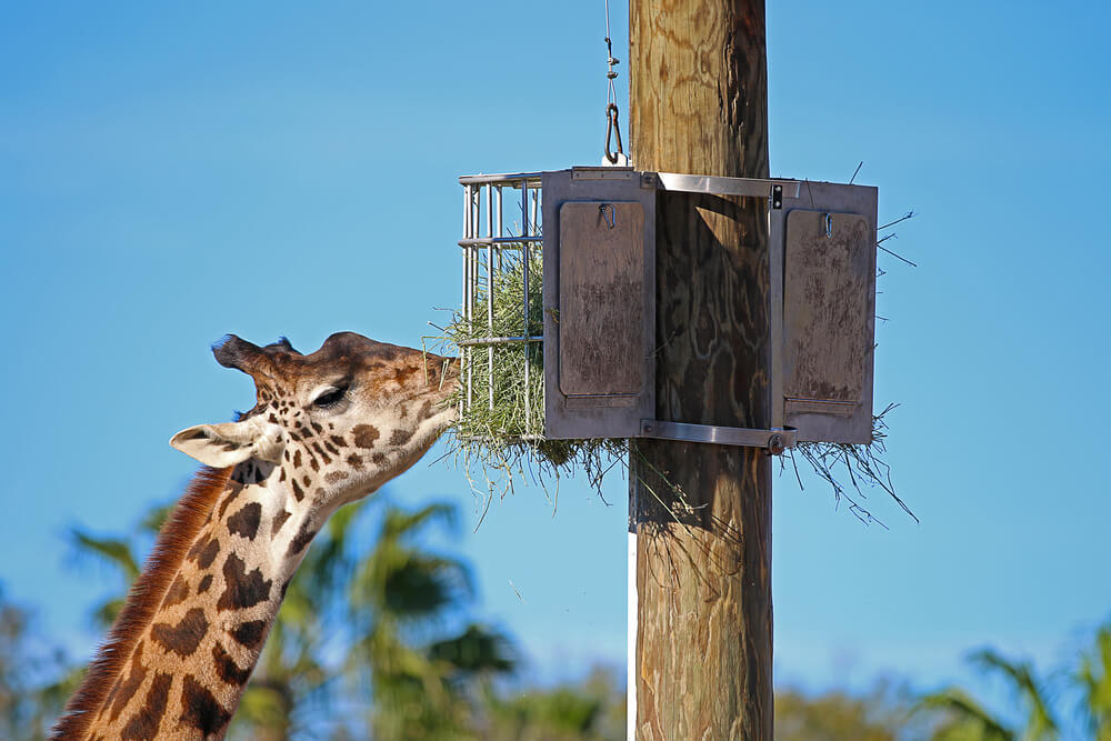 A giraffe at Lowry Park Zoo in Tampa, Florida